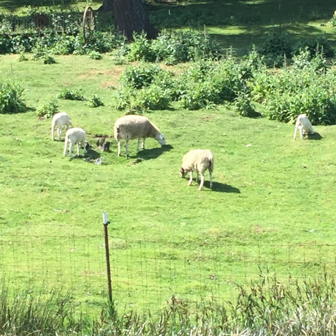 I saw these sheep.